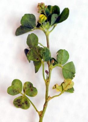 אספסת זעירה Medicago lupulina L.