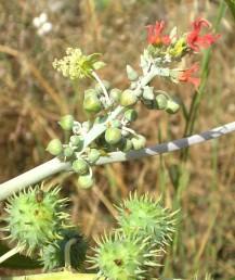 ענף נושא פרחים שונים: העליונים נקביים פתוחים מתחתם פרח זכרי יחיד עם אבקנים רבים מאוחי זירים. למטה 4 פירות צעירים.