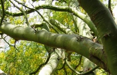 עץ בעל גזעים ירוקים מכוסי קבוצות של שלושה קוצים.