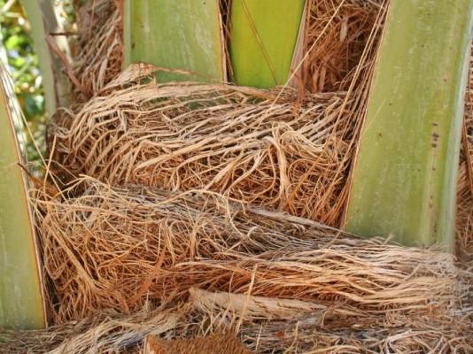 סיבי גזע בבסיס העלים של התמר