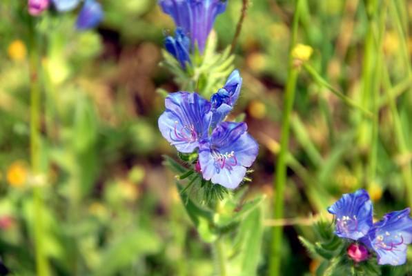 Echium plantagineum L.