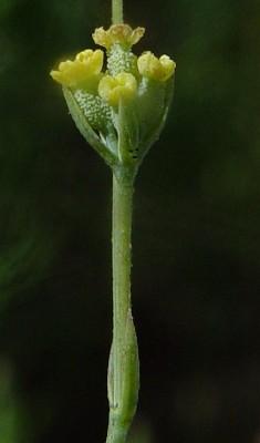 צלע-שור דקיקה Bupleurum orientale Snogerup