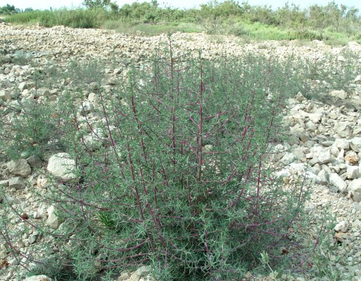 מלחית הבורית Salsola soda L.