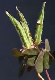 הפרי הלקט מוארך, מחודד; לחץ קל על הלקט בשל מביא לזריית הזרעים מסדקיו.