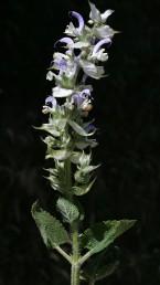 צבע הכותרת ורוד או לבן, גודלה 2.5 ס