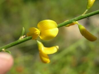 הפרחים צהובי הכותרת ערוכים באשכולות מרווחים.