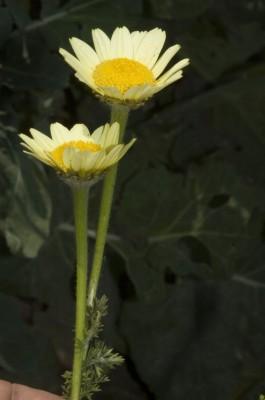 קחוינה מקרינה Anacyclus radiatus Loisel.