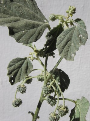 לשישית הצבעים Chrozophora tinctoria (L.) Raf.