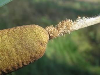 טרפי העלים קמורים בגבם וללא קרין. השיבולת העליינית אינה מרוחקת מהשיבולת האבקנית.