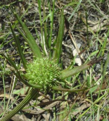 יינית חרוזה Oenanthe prolifera L.