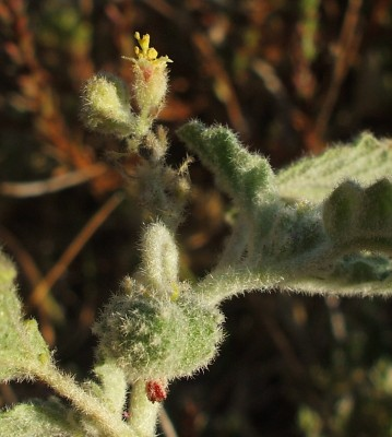 Chrozophora plicata (Vahl) A.Juss. ex Spreng.