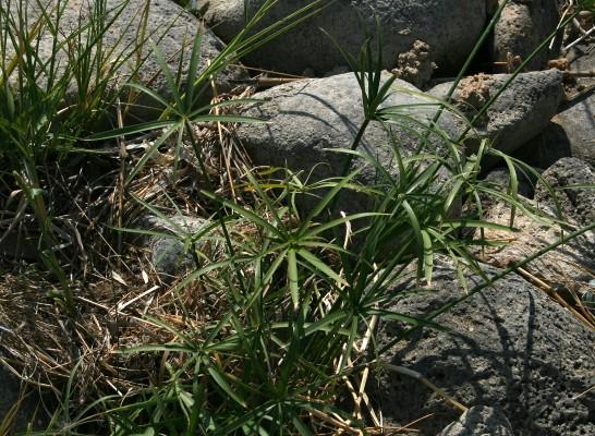 גומא תרבותי Cyperus alternifolius L.