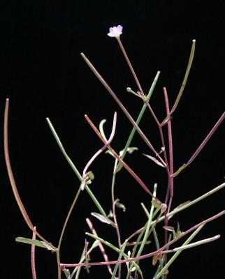 ערברבה מרובעת Epilobium tetragonum L.