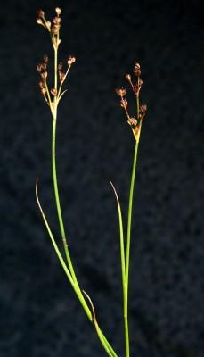 סמר הפרקים Juncus articulatus L.