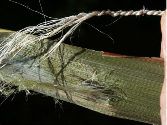 A large number of fine, strong fibers may be obtained after scraping the hard tissue from the leaf surface.