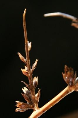 שחליים קוצניים Lepidium spinosum Ard.