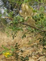 צמחי החרמון (בעיקר). שיחים מסועפים, העלים מורכבים-מנוצים פעם אחת. התרמיל נפוח.