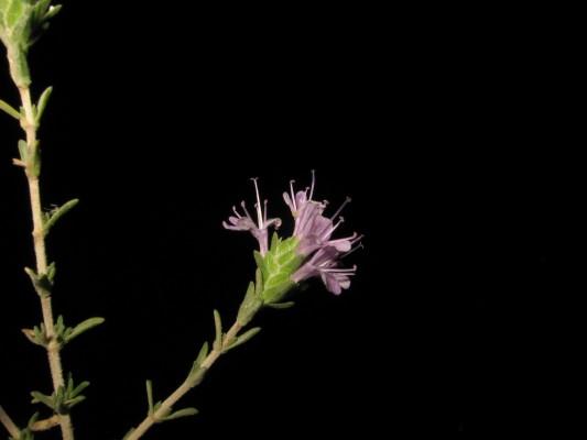 קורנית מקורקפת Coridothymus capitatus (L.) Rchb.f.
