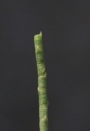 הגבעולים ירוקים מפורקים לפרקים ברורים, בכל פרק יש בליטה משולשת זעירה.