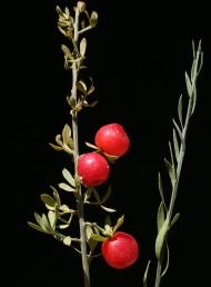 בני-שיח דו-ביתיים, ירוקים כל השנה, העלים מוארכים ונושרים בקיץ. הפרי בית-גלעין מאדים.