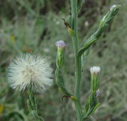 Aster subulatus Michx.