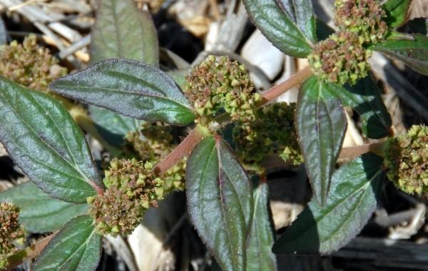 חלבלוב הכדורים Euphorbia hirta L.
