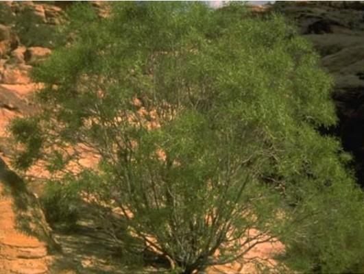"""דפנית צרת-עלים עץ או שיח המצוי רק בהרי אדום, מכונה שם בשם העממי """"מתנן"""". מסיבי קליפתו מכינים חבלים."""