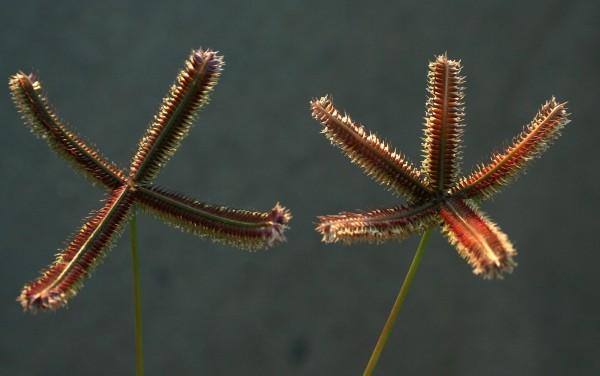 בת-יבלית מצרית Dactyloctenium aegyptium (L.) Willd.