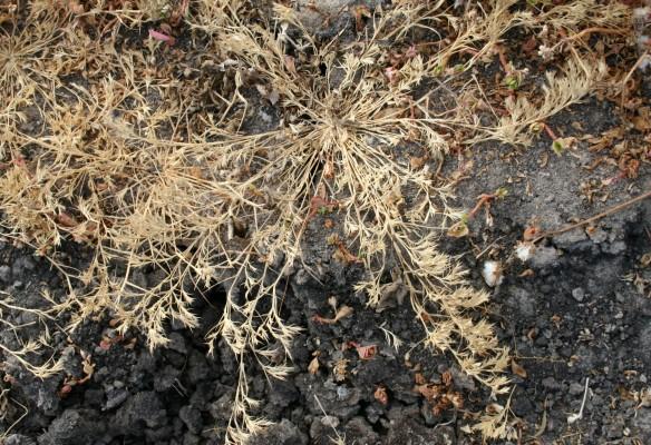 עטיינית מגובבת Crypsis minuartioides (Bornm.) Mez