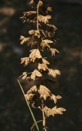 התפרחת צרה, מורכבת משיבולים קצרות ומרובות היושבות בצפיפות על ציר ארוך; השיבוליות פחוסות, בנות 16-8 פרחים בצד אחד של ציר השיבולת.
