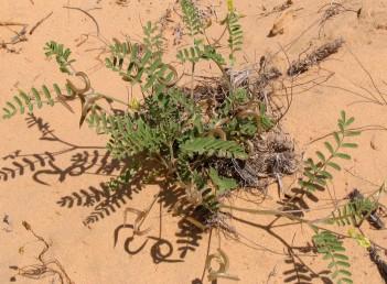 התרמיל משולשל כלפי מטה, אורך הפרח 13-10 מ