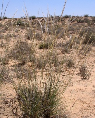 מלענן ריסני Stipagrostis ciliata (Desf.) de Winter