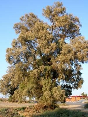 אשל הפרקים Tamarix aphylla (L.) Karsten