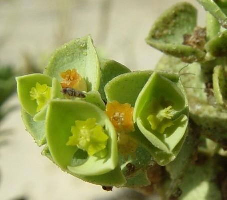 חלבלוב הים Euphorbia paralias L.