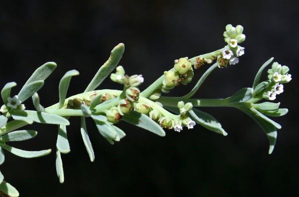 עוקץ-עקרב בשרני Heliotropium curassavicum L.