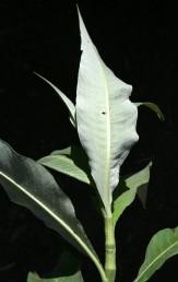 העלה לבן, מכוסה בשערות קצרות דמויות קורי-עכביש.