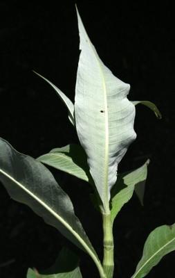Persicaria lanigera (R.Br.) Sojak