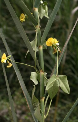 לוביה מצרית Vigna luteola (Jacq.) Benth.