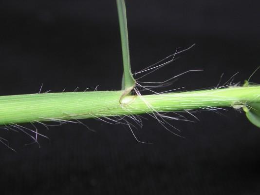 אצבען ריסני Digitaria ciliaris (Retz.) Koeler