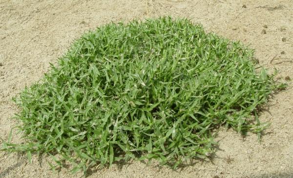 עטיינית דו-אבקנית Crypsis aculeata (L.) Ait.