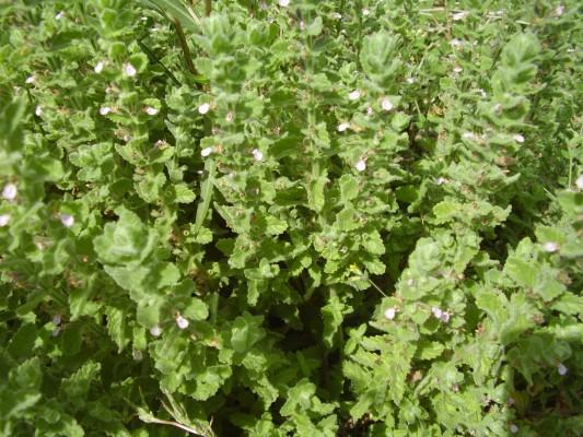געדת הביצות Teucrium scordium L.