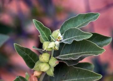 העלים מחודדים בראשם, הכותרת דמוית פעמון, בעלת 6-3 אונות, צבעה צהוב-ירקרק.