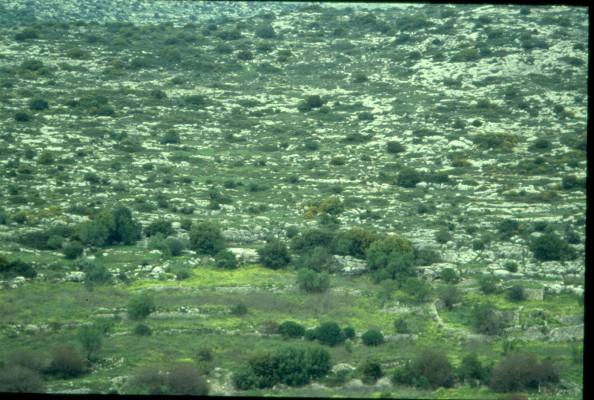 חרדל לבן Sinapis alba L.