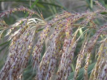השיבוליות חסרות מלענים; ציר המכבד מכוסה שערות רכות ארוכות, אורכו 60-50 ס