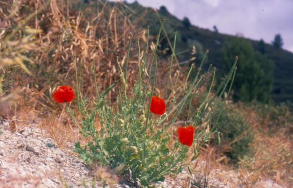 Glaucium aleppicum Boiss. & Hausskn.