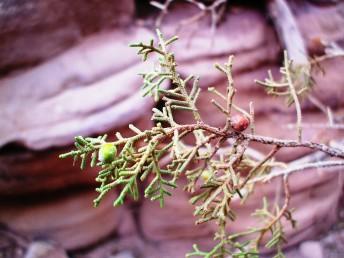 עלי הצמח הבוגר קשקשיים, מעוגלים בראשם. האיצטרובלים הבשלים בצבע חום-אדום.