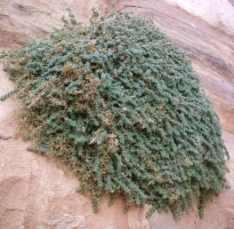 צמחים אפורים, גובהם 30-10 ס