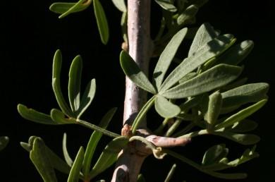 העלה קירח דמוי כף-היד, בעל 5 עלעלים. קצות ענפים מעוצים קוצניים. הפרי הבשל קירח.