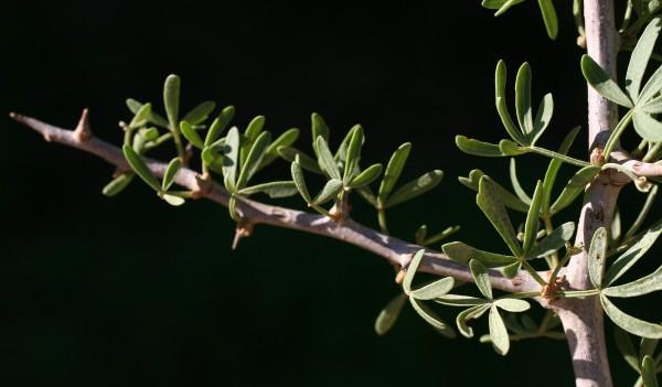 אוג (סירסיה) מחומש Searsia pentaphylla (Jacq.) F.A.Barkley