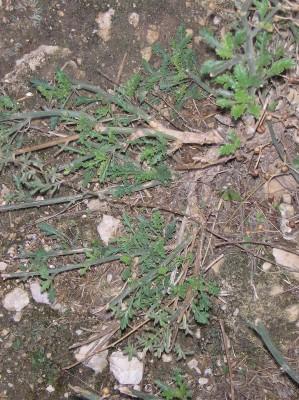 לוענית מפושקת Scrophularia peyronii Post